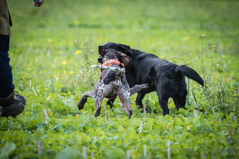 Cotswold Gundogs Shoot Skills Training Day 7d-67