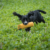 Cotswold Gundogs Shoot Skills Training Day 7d-217