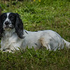 Cotswold Gundogs Shoot Skills Training Day 7d-15