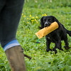 Cotswold Gundogs Shoot Skills Training Day 7d-245