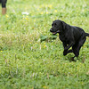 Cotswold Gundogs Shoot Skills Training Day 7d-156