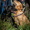 Cotswold Gundogs Shoot Skills Training Day 7d-104