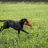 Cotswold Gundogs Shoot Skills Training Day 7d-161
