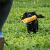 Cotswold Gundogs Shoot Skills Training Day 7d-244