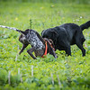 Cotswold Gundogs Shoot Skills Training Day 7d-65
