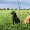 Cotswold Gundogs Shoot Skills Training Day 7d-224