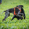 Cotswold Gundogs Shoot Skills Training Day 7d-63