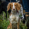 Cotswold Gundogs Shoot Skills Training Day 7d-22