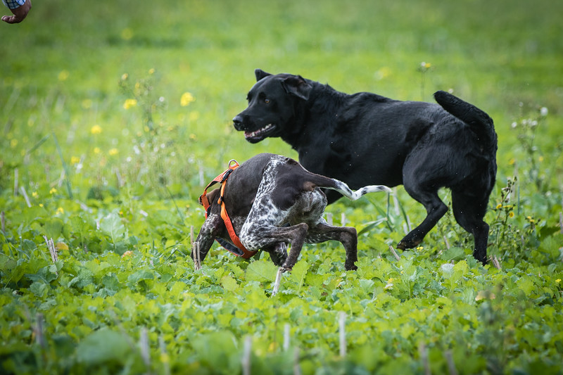 Cotswold Gundogs Shoot Skills Training Day 7d-66