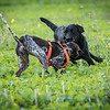 Cotswold Gundogs Shoot Skills Training Day 7d-64