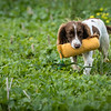 Cotswold Gundogs Shoot Skills Training Day 7d-210