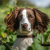 Cotswold Gundogs Shoot Skills Training Day 7d-106