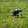 Cotswold Gundogs Shoot Skills Training Day 7d-170