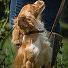 Cotswold Gundogs Shoot Skills Training Day 7d-205