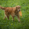 Cotswold Gundogs Shoot Skills Training Day 7d-208