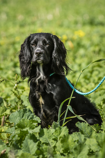 Cotswold Gundogs Shoot Skills Training Day 7d-228