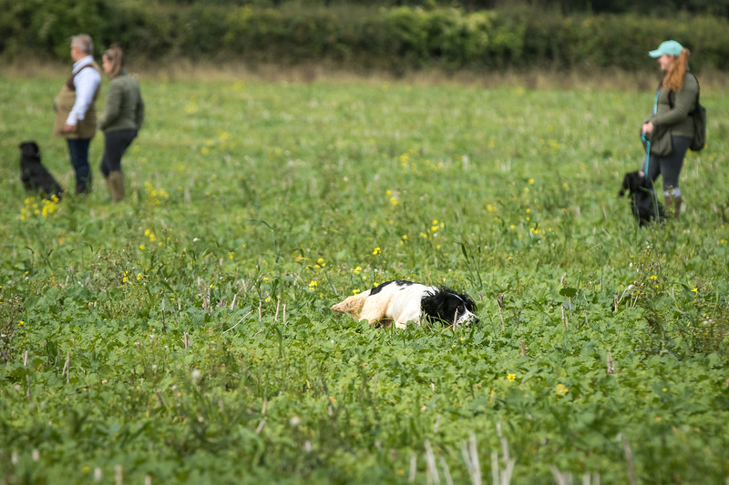 Cotswold Gundogs Shoot Skills Training Day 7d-163