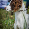 Cotswold Gundogs Shoot Skills Training Day 7d-25