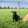 Cotswold Gundogs Shoot Skills Training Day 7d-225