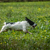 Cotswold Gundogs Shoot Skills Training Day 7d-56