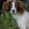 Cotswold Gundogs Shoot Skills Training Day 7d-32