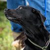 Cotswold Gundogs Shoot Skills Training Day 7d-121