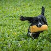 Cotswold Gundogs Shoot Skills Training Day 7d-218