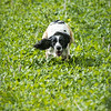 Cotswold Gundogs Shoot Skills Training Day 7d-233