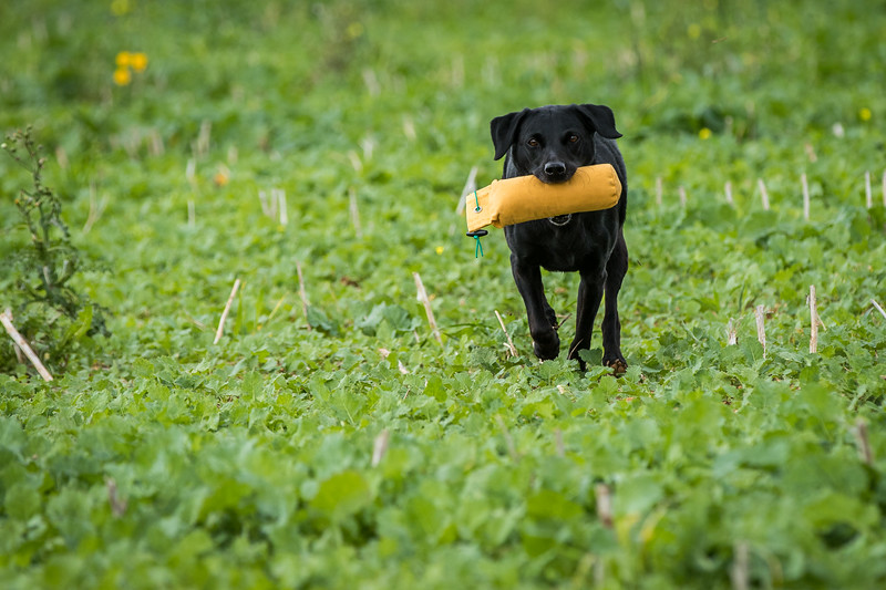 Cotswold Gundogs Shoot Skills Training Day 7d-248