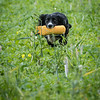 Cotswold Gundogs Shoot Skills Training Day 7d-215
