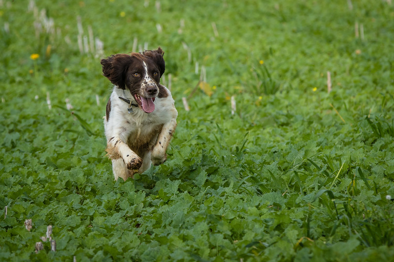 Cotswold Gundogs Shoot Skills Training Day 7d-95