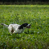Cotswold Gundogs Shoot Skills Training Day 7d-55