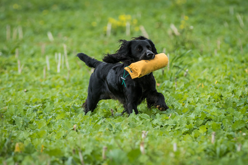 Cotswold Gundogs Shoot Skills Training Day 7d-243
