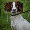 Cotswold Gundogs Shoot Skills Training Day 7d-85