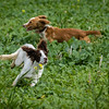 Cotswold Gundogs Shoot Skills Training Day 7d-91