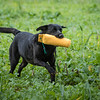 Cotswold Gundogs Shoot Skills Training Day 7d-220