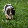 Cotswold Gundogs Shoot Skills Training Day 7d-96