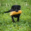 Cotswold Gundogs Shoot Skills Training Day 7d-251