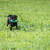 Cotswold Gundogs Shoot Skills Training Day 7d-236