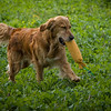Cotswold Gundogs Shoot Skills Training Day 7d-207