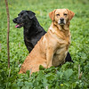 Cotswold Gundogs Shoot Skills Training Day 7d-223