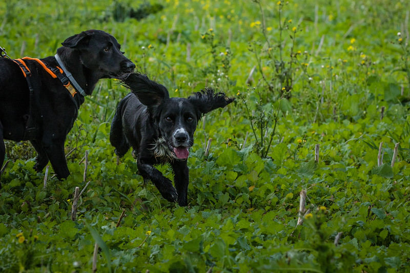 Cotswold Gundogs Shoot Skills Training Day 7d-72