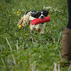 Cotswold Gundogs Shoot Skills Training Day 7d-172