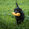 Cotswold Gundogs Shoot Skills Training Day 7d-222