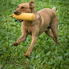Cotswold Gundogs Shoot Skills Training Day 7d-213
