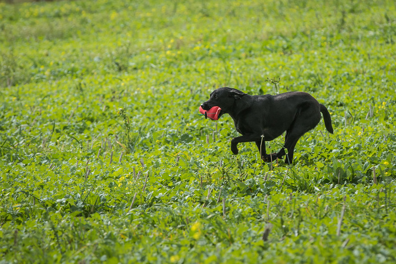 Cotswold Gundogs Shoot Skills Training Day 7d-231