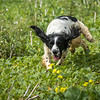 Cotswold Gundogs Shoot Skills Training Day 7d-168