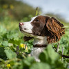 Cotswold Gundogs Shoot Skills Training Day 7d-105