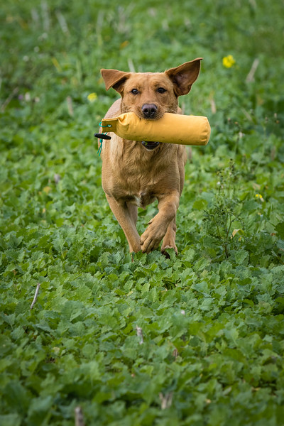 Cotswold Gundogs Shoot Skills Training Day 7d-212