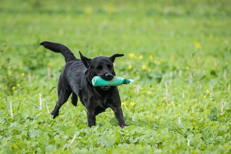 Cotswold Gundogs Shoot Skills Training Day 7d-238